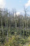 Árboles de pino muertos Fotos de archivo