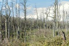 Árboles de pino muertos Fotos de archivo libres de regalías
