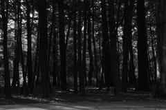 Árboles en el bosque blanco y negro Foto de archivo libre de regalías