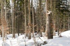 ?rboles en el bosque del invierno fotos de archivo
