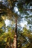 Árboles gigantes de la secoya Foto de archivo libre de regalías