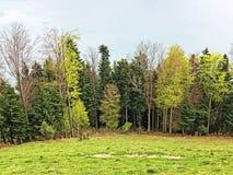 ?rboles y bosque mezclado en primavera temprana en las cuestas entre el lago lucerne y el pico de Gersauerstock foto de archivo