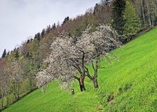 ?rboles y bosque mezclado en primavera temprana en las cuestas entre el lago lucerne y el pico de Gersauerstock fotos de archivo