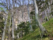 ?rboles y bosque mezclado en primavera temprana en las cuestas entre el lago lucerne y el pico de Vitznauerstock foto de archivo