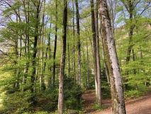 ?rboles y bosque mezclado en primavera temprana en las cuestas entre el lago lucerne y el pico de Vitznauerstock fotos de archivo