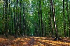 Árboles y hojas de haya en el bosque en otoño Imagen de archivo libre de regalías