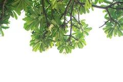 Árboles y ramas del Frangipani Aislado en el fondo blanco Fotos de archivo libres de regalías