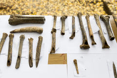 Аrchaeological excavations Human bones. Human bones are shown on a table from archaeological excavions in Bulgaria Stock Photography