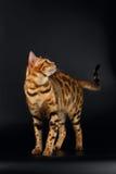 Rückseite Bengals Cat Curious Looking auf Schwarzem Stockfotografie
