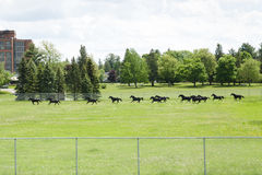 RCMP Horses in Training. In Ottawa Stock Photography