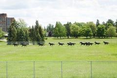 RCMP konie w szkoleniu Fotografia Stock