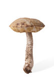 Récolte d'automne de boletus sauvage de chapeau de brun de champignon et de x28 ; Leccinum& x29 ; OIN Images stock