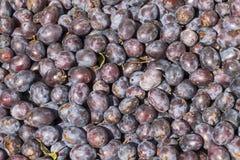 Récolte de prune vers la fin d'été Image stock