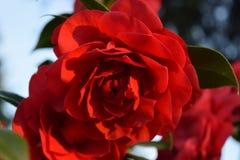 röd blomma för vår Royaltyfri Fotografi