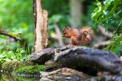 Röd ekorre, eekhoorn Royaltyfri Fotografi