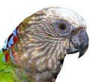 Röd-fan papegoja (denhövdade papegojan) Royaltyfri Bild
