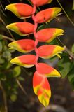 Röd fågel av paradisblomman Fotografering för Bildbyråer
