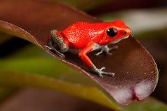 Röd giftpilgroda Costa Rica Royaltyfri Fotografi