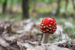 Röd giftsvamp i en skog Arkivbild