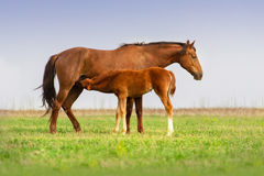 Röd häst med hingstfölet Royaltyfri Bild