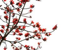 Röd kapock blommar med ris och filialer Arkivbild