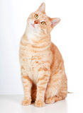 Röd katt. Royaltyfria Foton