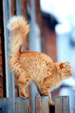 Röd katt på ett staket Arkivbilder