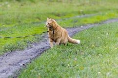 Röd katt som går till och med det gröna gräset på en koppel Arkivbild
