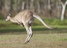 Röd känguru Arkivfoton