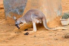Röd känguru Arkivbilder