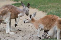Röd känguru eller Macropusrufusfamilj med känguruunge Royaltyfri Foto