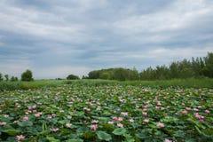 Röd-krönat Crane Nature Reserve Zhalong våtmarkdamm Royaltyfria Bilder