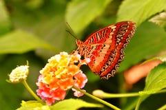 Röd Lacewingfjäril, aka, Cethosia biblis Arkivbild