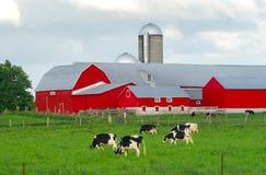 Röd lantgårdladugård med kor Arkivfoton