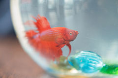 Röd liten fisk i akvarium Royaltyfria Foton