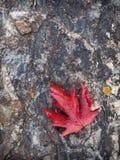 Röd lönnlöv på rock Arkivfoton