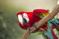 Röd Macaw Royaltyfri Foto
