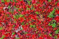 Röd matta av växter i Lapland Arkivbilder