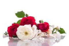 Röd och vit ros Fotografering för Bildbyråer