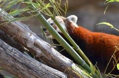Röd panda och bambu Arkivbild