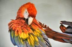 Röd papegoja Arkivbild
