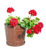 Röd pelargonblomma i en brun blomkruka, slut upp vit bakgrund Arkivbild