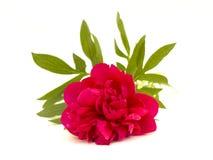 Röd pion Royaltyfria Bilder