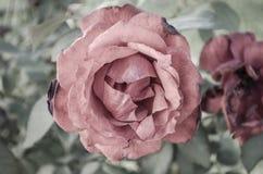 Röd ros Royaltyfria Foton