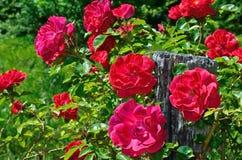 Röd rosblom i trädgård på bakgrund av blå himmel Fotografering för Bildbyråer