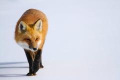 Röd räv i snö Arkivbilder
