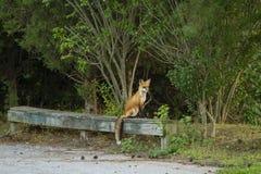 Röd räv som balanseras på Forest Bench Royaltyfria Bilder
