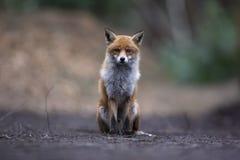 Röd räv, Vulpesvulpes Arkivfoto