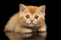 Röd skotsk rak Kitten Looks för Closeup fråga, isolerad svart Royaltyfri Foto