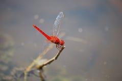 Röd slända Royaltyfria Foton